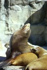 harbor, sea lion, marine mammal, phoca, vitulina