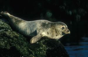 harbor, sea lion, rests, offshore, rock