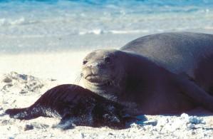Hawaiian monk seal, pup, beach
