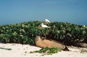 Hawaiian monk seal, red, footed, booby