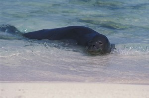 Hawaiian monk seal, plays, water