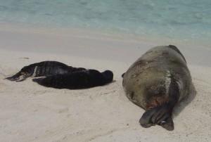 Hawaii barátfóka, született, ikrek