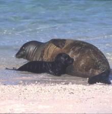 Hawaii barátfóka, kölyökkutya