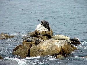 океан, морские львы, млекопитающие, каменистый берег