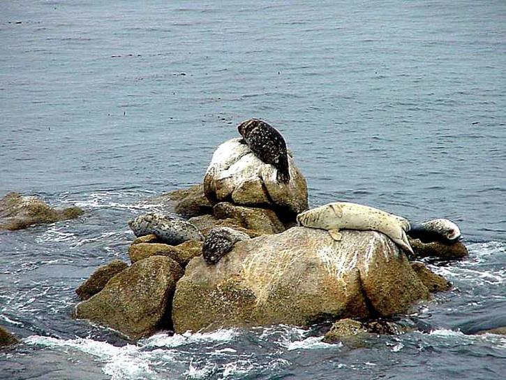 Ocean, sjölejon, däggdjur, rocky shore