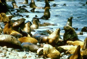 sea, lions, coast, water, eumetopias, jubatus
