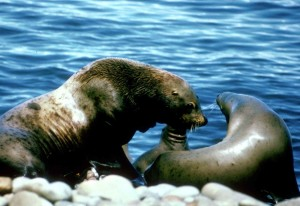 sea, lions, pair, male, female, marine mammals