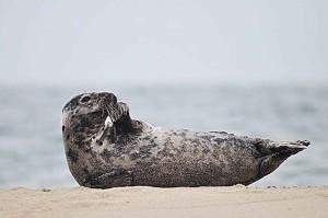 sea lion, recumbency, sandy beach