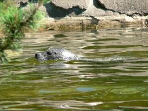 바다 사자, 수영, 머리, 물
