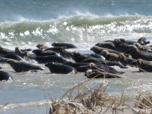 sea lions, gathered, ocean