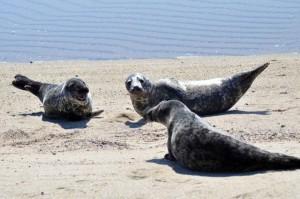 lions de mer, se sont réunis, plage, océan