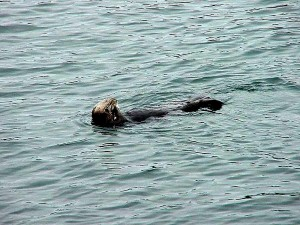 sea lion, swimming, sea