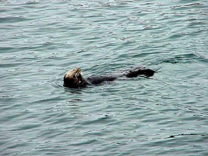 Sea lion, plávanie, more