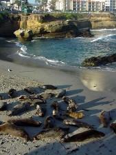 lions de mer, plage