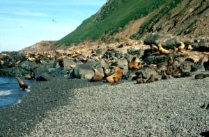 lions de mer, rocheux, pierres