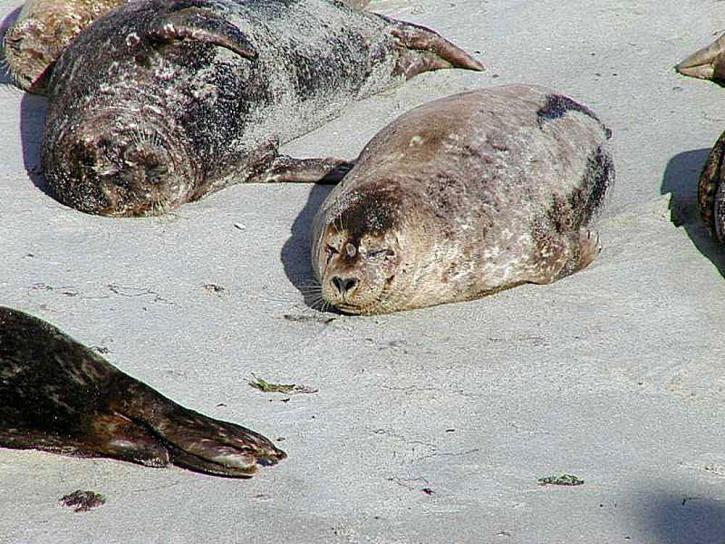 sjölejon, djur, vila, sand, strand