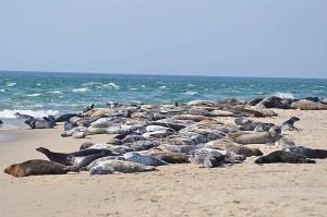 Seelöwen, Sonnen, Strand