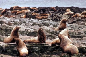 group, steller, sea, lions, sea, coast
