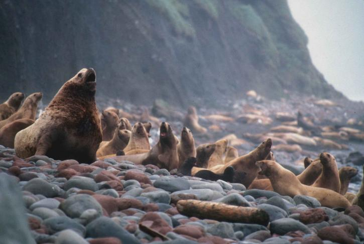 stellar, sea, lions, eumetopias, jubatus, marine mammals