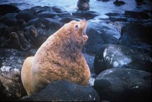 Стелеров, море, лъв, бикове, морските бозайници, eumetopias jubatus