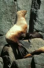 steller, sea, lion, female, pup, eumetopias, jubatus