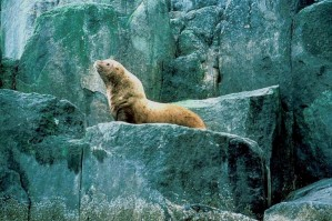 steller, sea, lion, male