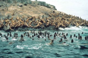 steller, sea, lions, water, coast, eumetopias, jubatus