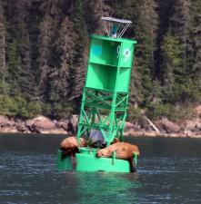 steller, sea, lions, laze, buoy