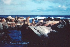 Steller, mer, lions, mammifères marins, roches, Eumetopias, jubatus