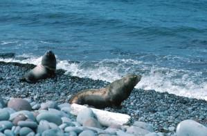 Steller, mer, lions, mammifères marins, rocheux, plage