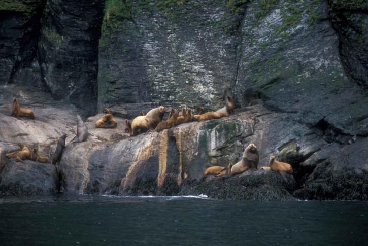 Steller, mer, lions, roches, l'eau, Eumetopias, jubatus