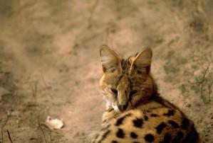 serval, cat, leptailurus, serval