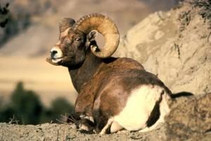 bighorn, animale, ovis, canadensis