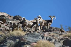mouflons, moutons, points, rochers
