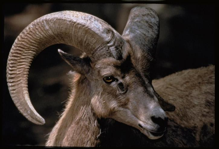 bighorn, mouton, tête