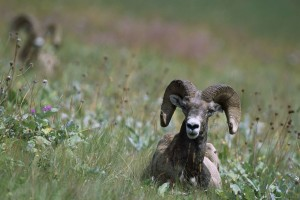 mouflons, moutons, herbe, ovis, canadensis
