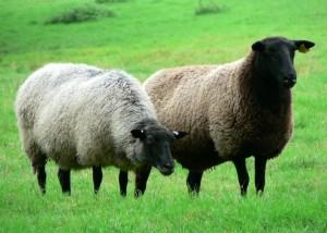 schwarzes, vorangegangen, Schafe