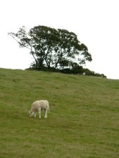 bestiame, verde, collina
