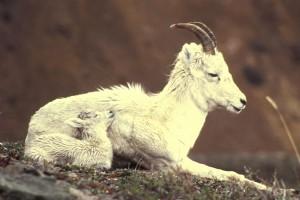 dall, domba, kambing, berbohong, turun