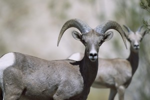 femelle, mouflons, moutons