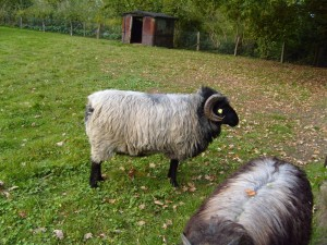 grey, horned, sheep