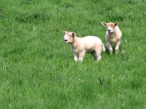 agnelli, pecore