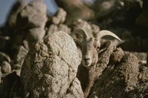 peninsular, bighorn, sheep, standing, rock, ovis canadensis, nelsoni