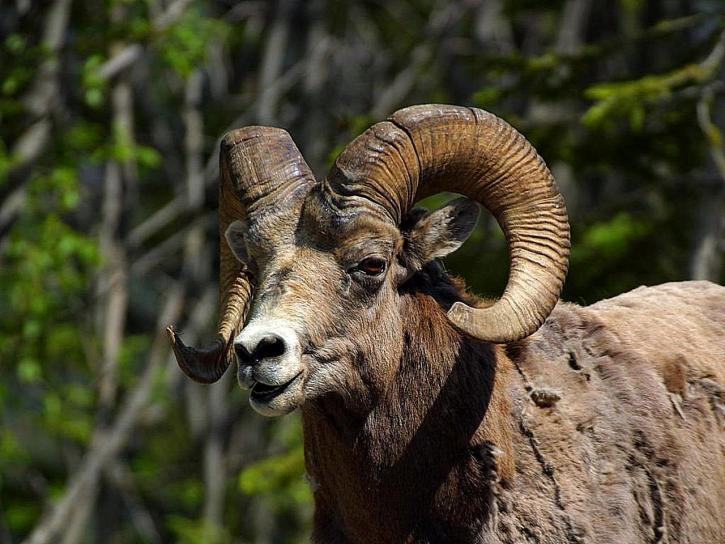 rocky, mountain, bighorn, sheep
