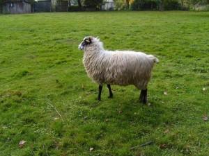moutons, animal, herbe