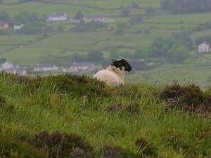 pecore, agnelli
