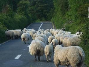 sheep, roads, lambs