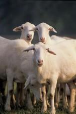 croix, sheep