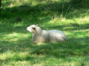 white, sheep, resting