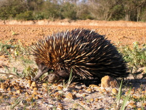 echidna, spiny, anteater, animal